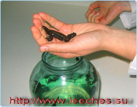 http://www.massagespb.ru/images/hyrudo19.jpg